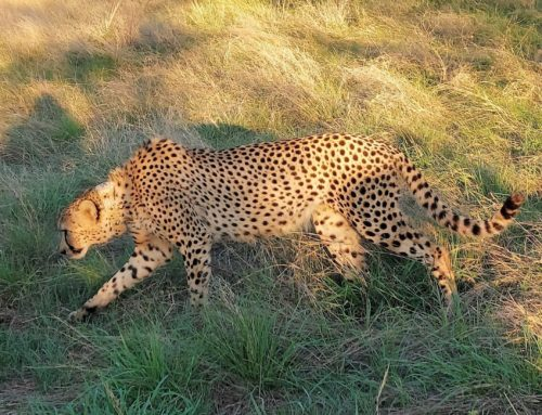 Kaingo's Cheetah Conservation Project